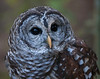 Birds of Homosassa Wild Animal Park - Barred Owl
