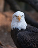 Birds of Homosassa Wild Animal Park - American Bald Eagle