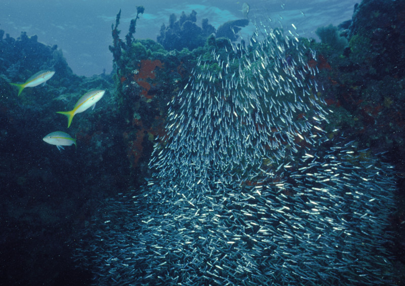Glass sweepers swirl over the reef