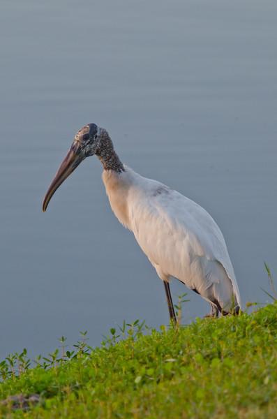 Wood stork at sunrise