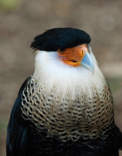 Birds of Homosassa Wild Animal Park - Crested Caracara