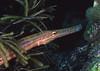Trumpetfish profile