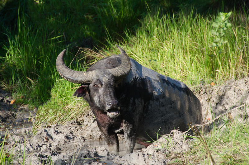 A water buffalo complains about being disturbed from his mud hole