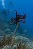 Divers approach a black and white crinoid