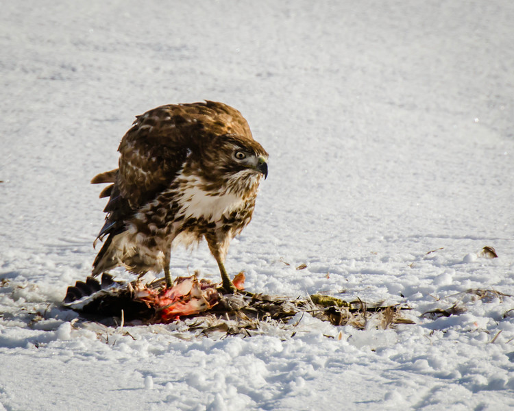 Red-tailed Hawk at breakfast