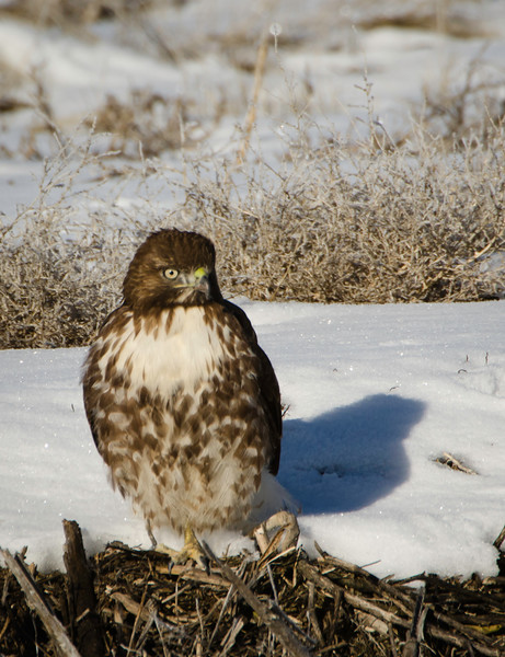 Red-tailed hawk on the bank