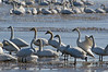 Whistling Swans on ice
