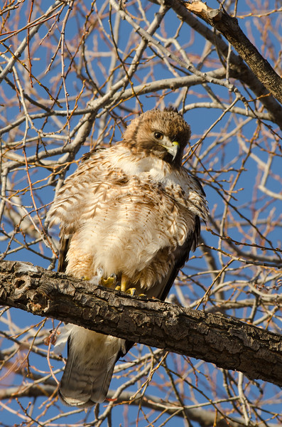 Younk Hawk watching the photographers