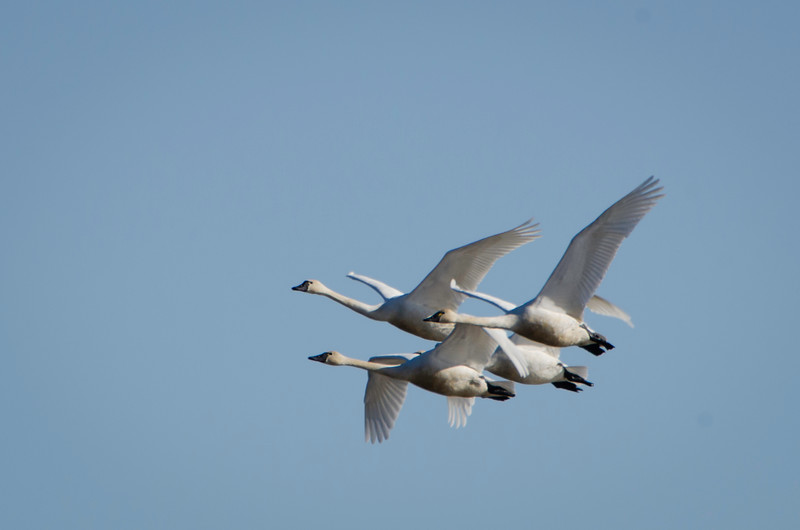 Whistling Swans in close formation