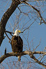 Bald Eagle in a tree