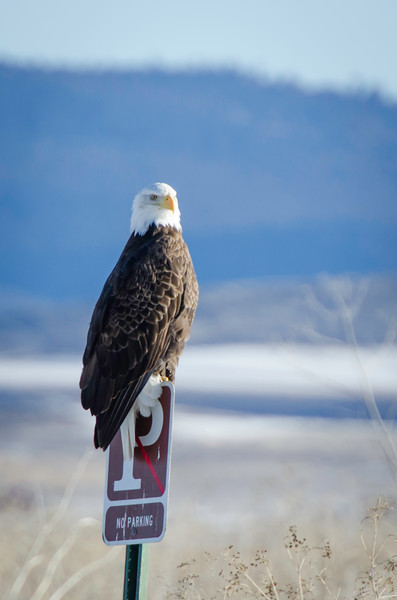 Parked Bald Eagle