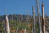 The forest continues to be reborn eighteen years after the 1992 Rainbow Fire. - Mammoth0050