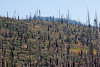 The forest continues to be reborn eighteen years after the 1992 Rainbow Fire. - Mammoth0047