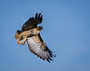 Hunting Red-Tailed Hawk