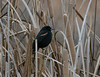 Red-wnged Blackbird in reeds