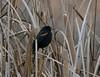 Red-wnged Blackbird in reeds