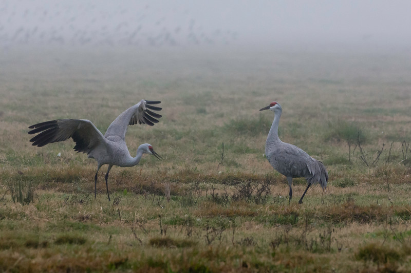 Sandhill Cranes perform a mating dance