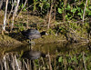 American Coot and its reflection
