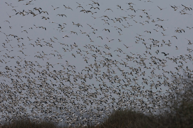 Clouds of Snow Geese take to the air