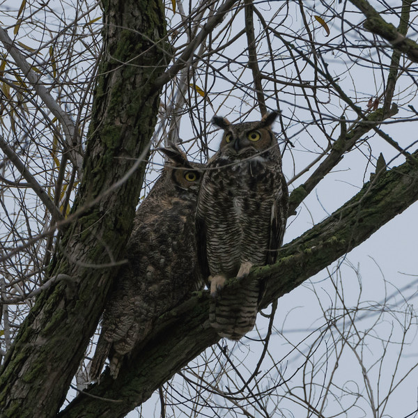 Great Horned Owl pair perched in a tree