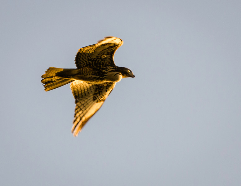 Prairie falcon hunts at sunset