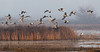 Sandhill cranes take-off in the morning fog