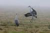 Sandhill Cranes perform a mating dance