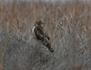 Young Red-tailed Hawk searches for pray