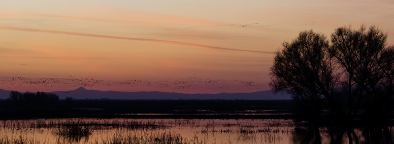 Great flocks move at dusk