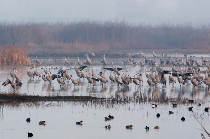 Sandhill cranes stir in the morning fog
