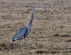 Great Blue Heron patrols the field looking for rodents
