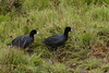 A pair of Americn Coots wander thru the wet grass