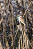 Old World House Sparrow