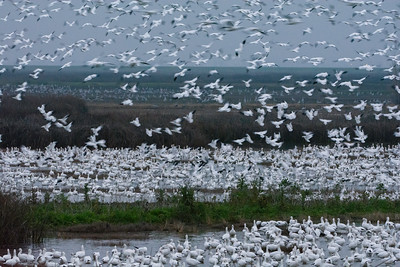 Snow Geese too numerous to count