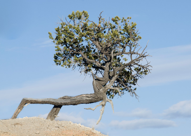 Ancient Bristlecone Tree - Still Hanging In There! A bristlecone pine tree survives as the earth is eroded from its roots.