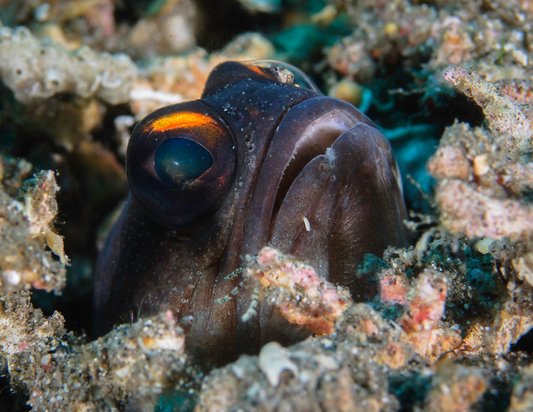 Jawfish safe in his burrow