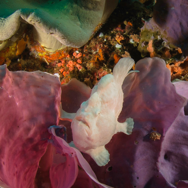 Giant Frogfish waits for a meal