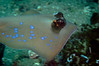 Blue-Spotted Stingray Glides By