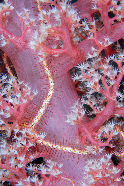 Pink soft coral and brittle star