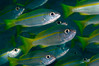 School of Bigeye Snapper