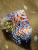 Christmas Tree Worm on Hard Coral