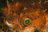 Orbicular Burrfish Eye