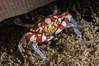 Harlequin (Lissocarcinus Laevis) Crab