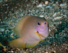 Unknown Damselfish