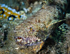 Clouded Lizardfish