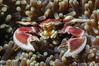 Porcelain Crab