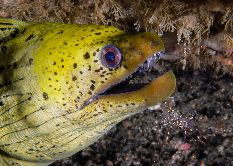 Fimbriated Moray Eel and Cleaner Shrimp