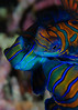 Mandarinfish (mandarin dragonet) Threesome