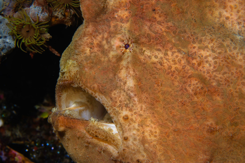 Giant (Commerson's) Frogfish