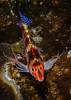 Dwarf (Falco's) Hawkfish